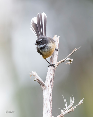 New Zealand Fantail, Haast, SI, NZ, Aug 2018-3