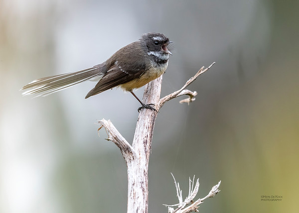 New Zealand Fantail, Haast, SI, NZ, Aug 2018-2
