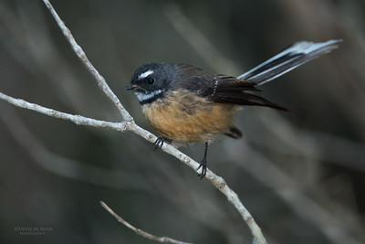 New Zealand Fantail, Tiritiri Matangi, NZ, March 2015-2