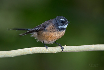 New Zealand Fantail, Tiritiri Matangi, NZ, March 2015-1