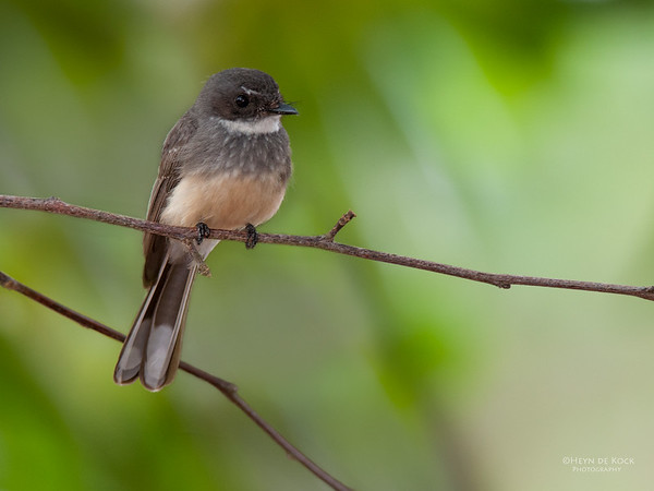 Northern Fantail, Darwin, NT, Sept 2010