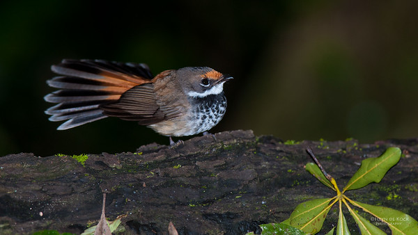 Rufous Fantail, Lammington NP, QLD, Jan 2011