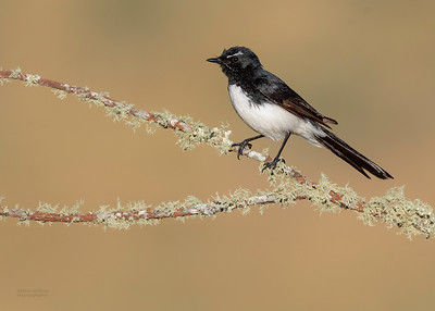 Willie Wagtail, Glenrowan, VIC Oct 2018-1