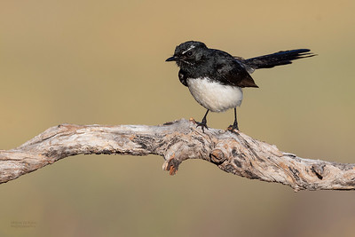 Willie Wagtail, Glenrowan, VIC Oct 2018-2