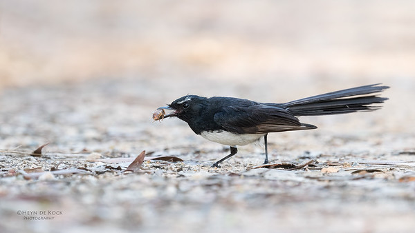 Willie Wagtail, Sandy Camp Wetlands, QLD, Aus, Jan 2017-4