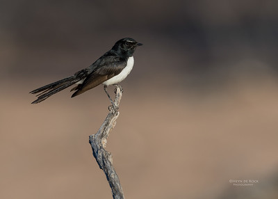 Willie Wagtail, Bowra, Cunnamulla, QLD, Aus, Sept 2017-1