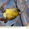 American Goldfinch J65295