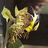 American Goldfinch M83212