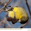 American Goldfinch J65298