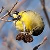 American Goldfinch J65290