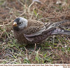 Gray-crowned Rosy-Finch A5665