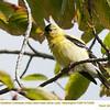 American Goldfinch M73406