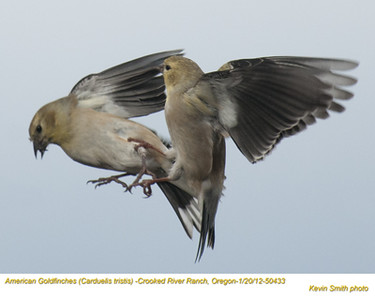 AmericanGoldfinches50433