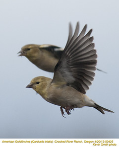 AmericanGoldfinches50425