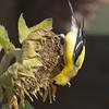 American Goldfinch M83202