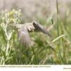 American Goldfinch J72235