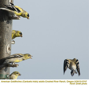 AmericanGoldfinches5747