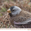 Gray-crowned Rosy-Finch A5670