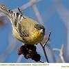 American Goldfinch J65315