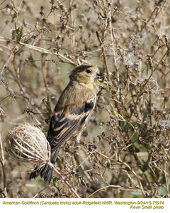 American Goldfinch A75974