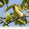 American Goldfinch M73414