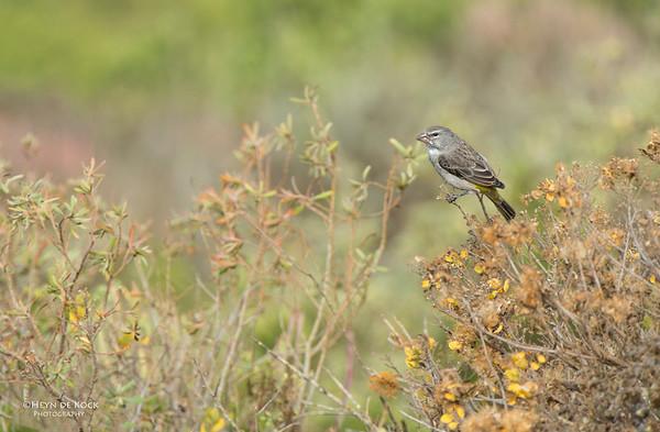 White-throated Canary, West Coast NP, WC, SA, Jan 2014