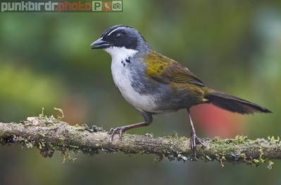 Stripe-headed Brush-Finch (Buarremom torquatus)