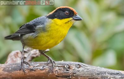 Rufous-naped Brush-Finch (Atlapetes latinuchus)