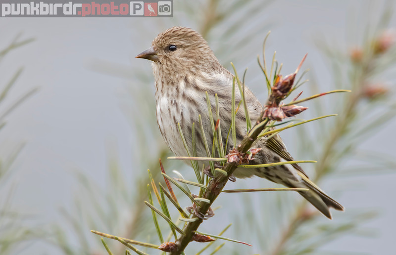 pine siskin (carduelis pinus)