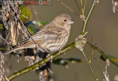 House Finch female (Carpodacus mexicanus)