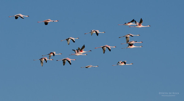 Lesser Flamingo, Etosha, Namibia, Jul 2011