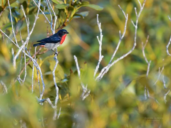 Mistletoebird, Boonooroo, QLD, March 2017-2
