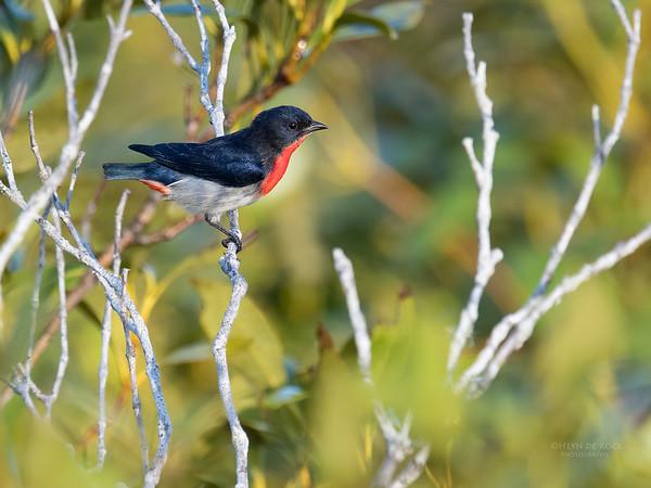 Mistletoebird, Boonooroo, QLD, March 2017-1