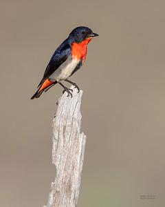 Mistletoebird, Cocoparra National Park, NSW, Oct 2018-2