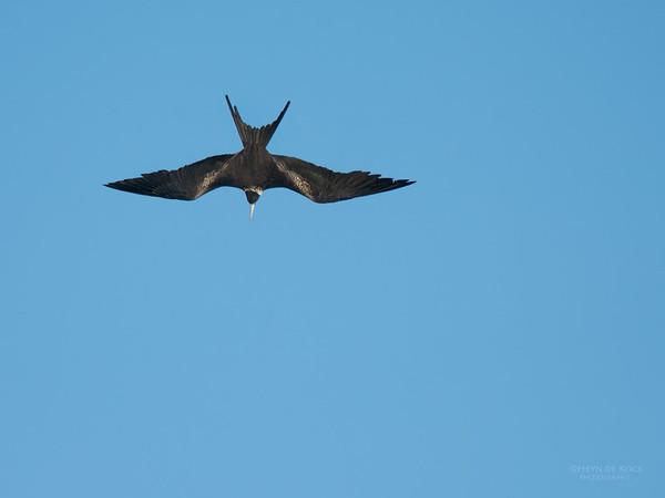 Lesser Friagtebird, Lady Elliot Island, QLD, Dec 2015-3