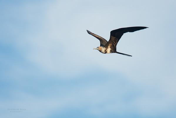 Lesser Friagtebird, Lady Elliot Island, QLD, Dec 2015-6