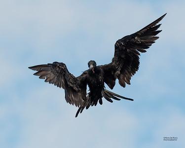 Magnificent Frigatebird, Fort De Soto, St Petersburg, FL, USA, May 2018-4