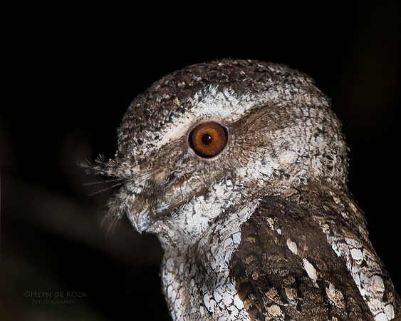Marbled Frogmouth, Iron Range NP, Qld, Aus, Nov 2009a
