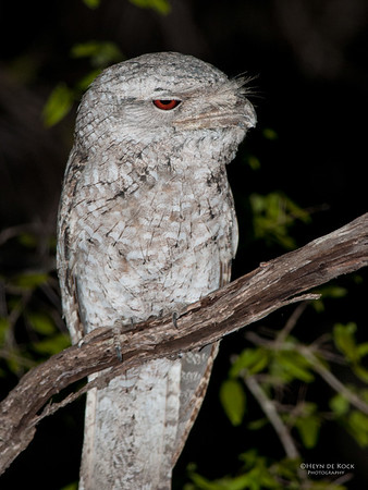 Papuan Frogmouth, Lakeland NP, QLD, Dec 2009