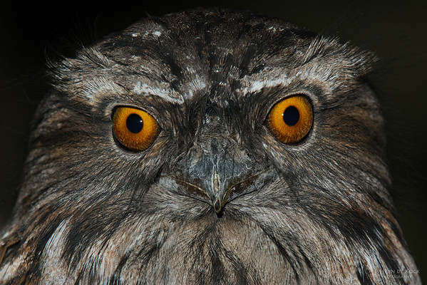 Tawny Frogmouth, Eaglehawk Neck, TAS, July 2015-2