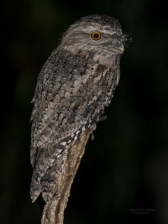 Tawny Frogmouth, Tallai, QLD, March 2017