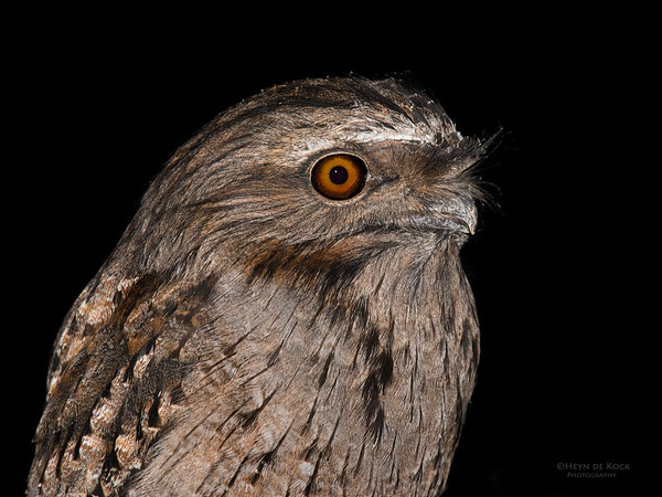 Tawny Frogmouth, Eaglehawk Neck, TAS, July 2015