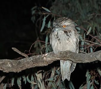 Tawny Frogmouth, Hattah-Kulkyne NP, VIC, Aus, Aug 2012