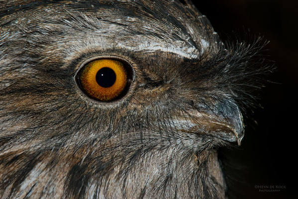Tawny Frogmouth, Eaglehawk Neck, TAS, July 2015-1
