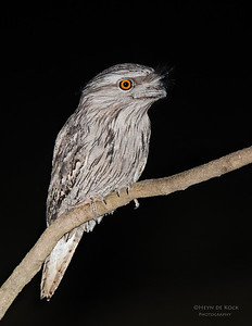 Tawny Frogmouth, Capertee Valley, NSW, Sep 2013