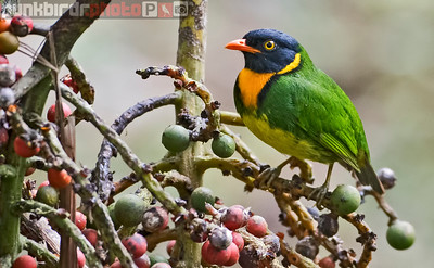 Orange-breasted Fruiteater (Pipreola jucunda)