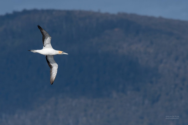 Australian Gannet, Eaglehawk Neck Pelagic, TAS, Dec 2019-1