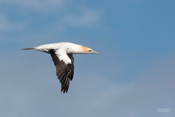 Australian Gannet, Eaglehawk Neck Pelagic, TAS, Dec 2019-2