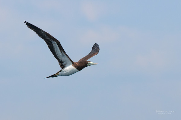 Brown Booby, Port Stephens Pelagic, NSW, Mar 2010