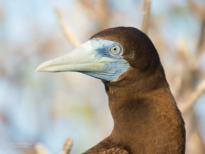 Brown Booby, Lady Elliot Island, QLD, Dec 2015-1